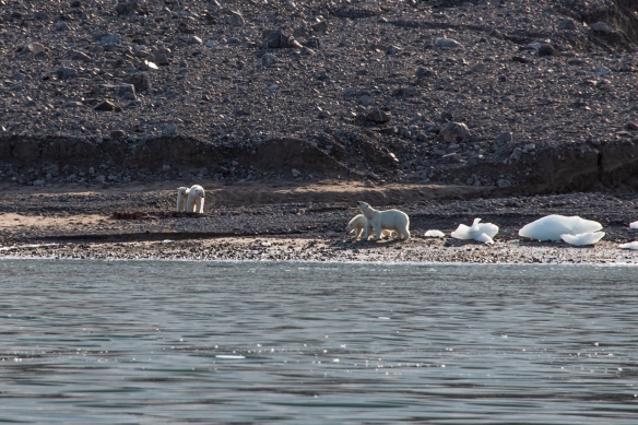 The first two polar bears hadn't invited guests for lunch, so the new arrivals starting barking and showing that the new mother was the dominant one on the beach; Ellesmere Island, Nunavut, Canada