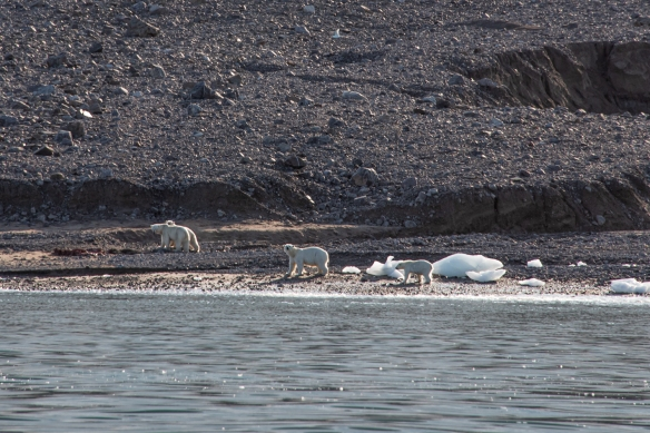 The swimming polar bears finally made it ashore, shook themselves dry, and proceeded to invite themselves to lunch, Ellesmere Island, Nunavut, Canada