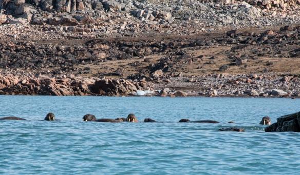 Walruses #1, Philpots Island (east of Devon Island), Nunavut, Canada