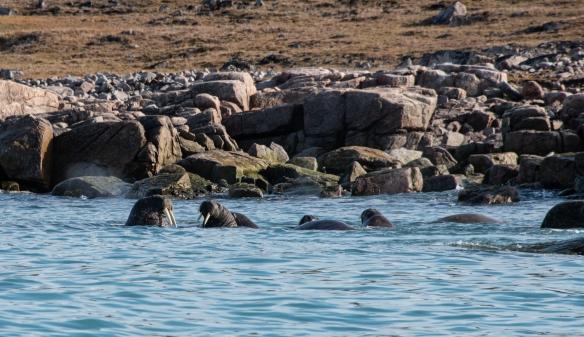 Walruses #2, Philpots Island (east of Devon Island), Nunavut, Can