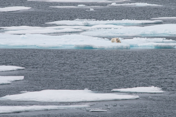 We came across this polar bear on the pack ice just after it had caught and killed a seal and eaten quite a bit – notice the blood on its front right leg and its right cheek, Peel Sound, Northwest Passage, Nunavut, Canada