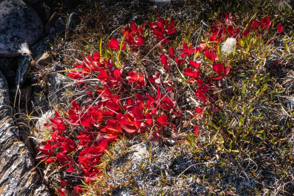 "We once again saw evidence that it was ""fall"" in the High Arctic, as signaled by the bright red color of the bear berry plants all across the tundra, Port Epworth, mainland, Nunavut, Canada"