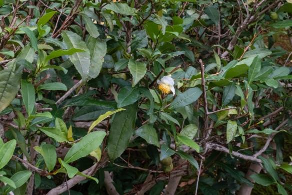 Tea plants (camellia sinensis) on the grounds of Kennin-ji Temple, Kyoto, Honshu Island, Japan