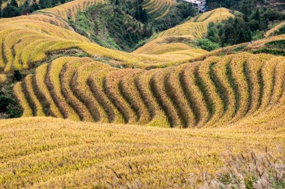Jinkeng Red Yao Terraced Fields, Dazhai Village in the Longji Rice Terraces region, near Guilin, Guangxi, China #5