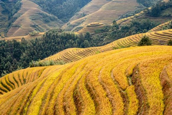 Jinkeng Red Yao Terraced Fields, Dazhai Village in the Longji Rice Terraces region, near Guilin, Guangxi, China #7