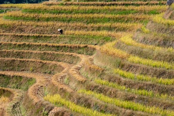 Ping'an Zhuang Village Terraced Fields, or Dragon's Backbone Rice Terraces, near Guilin, Guangxi, China #10