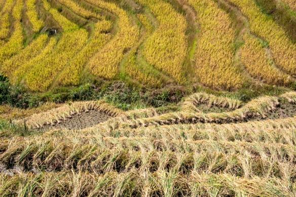 Ping'an Zhuang Village Terraced Fields, or Dragon's Backbone Rice Terraces, near Guilin, Guangxi, China #11