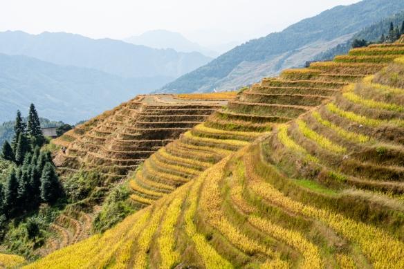 Ping'an Zhuang Village Terraced Fields, or Dragon's Backbone Rice Terraces, near Guilin, Guangxi, China #12