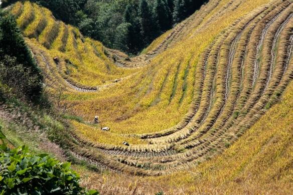 Ping'an Zhuang Village Terraced Fields, or Dragon's Backbone Rice Terraces, near Guilin, Guangxi, China #4