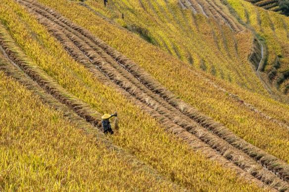 Ping'an Zhuang Village Terraced Fields, or Dragon's Backbone Rice Terraces, near Guilin, Guangxi, China #5