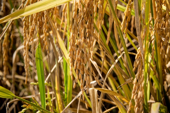 Ping'an Zhuang Village Terraced Fields, or Dragon's Backbone Rice Terraces, near Guilin, Guangxi, China #6; a close up of the rice, ready for harvesting