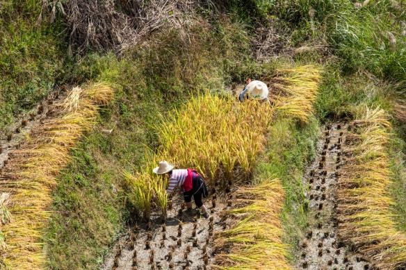 Ping'an Zhuang Village Terraced Fields, or Dragon's Backbone Rice Terraces, near Guilin, Guangxi, China #7