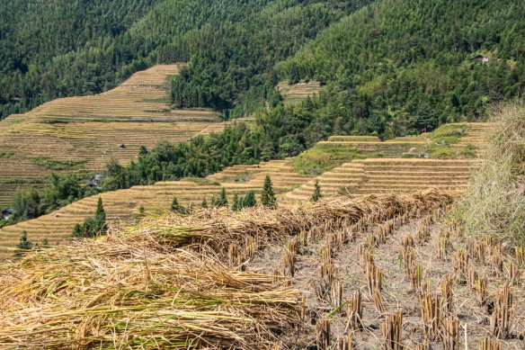 Ping'an Zhuang Village Terraced Fields, or Dragon's Backbone Rice Terraces, near Guilin, Guangxi, China #9; when cut, the harvested rice is laid flat on the ground to begin drying out before being removed from the fields
