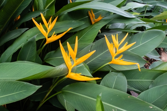 George Brown Botanical Gardens, Darwin, Australia #2; Birds of Paradise flowers