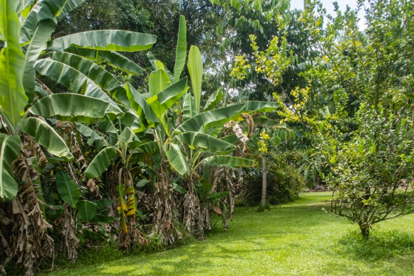 Banana trees and other fruit trees in the Rainforest at the Botanical Ark, Port Douglas, Queensland, Australia