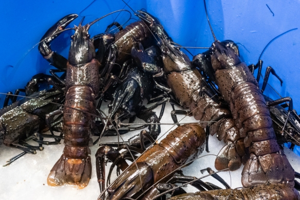 Live marron, Sydney Fish Market, Sydney, New South Wales, Australia -- Marron is a name given to two closely related species of crayfish in Western Australia